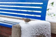 SPARROW OVER A BLUE BENCH COVERED BY SNOW Royalty Free Stock Photo
