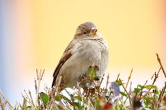 Sparrow på en buske royaltyfria foton