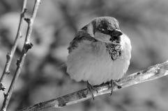 Sparrow på en förgrena sig Fotografering för Bildbyråer