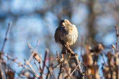 Sparrow på en förgrena sig Royaltyfri Fotografi