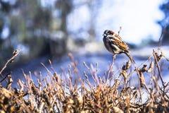 Sparrow på en förgrena sig Arkivfoton