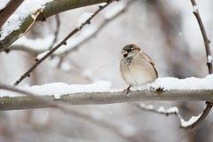 Sparrow på en förgrena sig Royaltyfri Foto