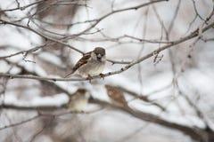 Sparrow på en förgrena sig Royaltyfria Bilder