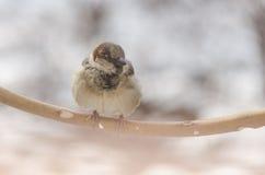 Sparrow på en förgrena sig Royaltyfria Foton