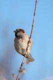 Sparrow på en filial Arkivbilder