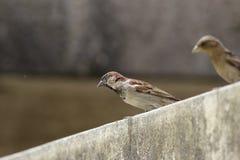 Sparrow på en vägg Arkivbild