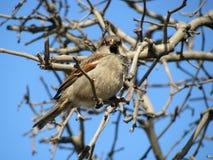 Sparrow på filial Royaltyfri Fotografi