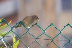 Sparrow på staket royaltyfria bilder