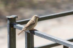 Sparrow på staket arkivfoto