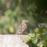 Sparrow på staket arkivbilder