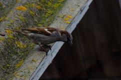 Sparrow på taket Arkivbild