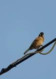 Sparrow på tråd Arkivbilder