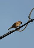 Sparrow på tråd Arkivbild