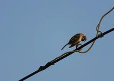 Sparrow på tråd Arkivfoton