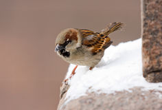 Sparrow on a parapet Stock Photography