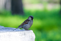 Sparrow in park on green background Stock Photo