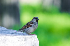 Sparrow in park on green background Stock Photos