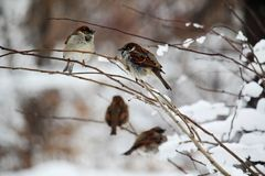 A sparrow in a park during winter season, Moscow