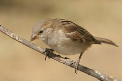 Sparrow (Passer domesticus) Stock Photos