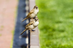 Sparrow (Passer domesticus) in a fence Royalty Free Stock Photos