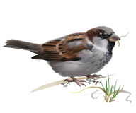 Sparrow - Passer domesticus. Stock Photography