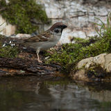 Sparrow (Passer domesticus) on the shore of the forest pond for Royalty Free Stock Photos