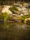 Sparrow (Passer domesticus) on the shore of the forest pond for Royalty Free Stock Image