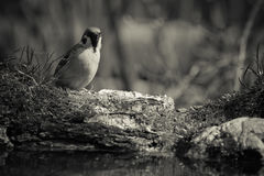 Sparrow Passer domesticus on the shore of the forest pond for Royalty Free Stock Photos