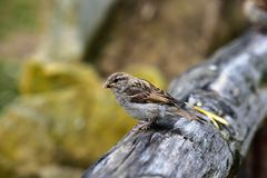 Sparrow, Passer domesticus. Sparrow - the young bird, Passer domesticus Royalty Free Stock Photos