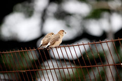 Sparrow Passer hispaniolensis, male perched on a grill Stock Image