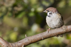 Sparrow (Passer montanus) Stock Photos