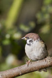 Sparrow (Passer montanus) Royalty Free Stock Photos