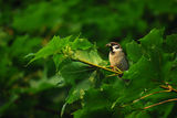 Sparrow - Passer montanus Royalty Free Stock Image
