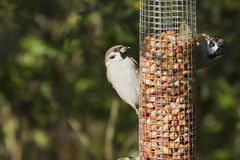 Sparrow (Passer montanus) Stock Photo
