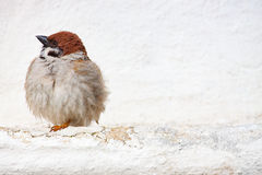 Sparrow Passer montanus is a passerine bird in the sparrow fa. Mily with a rich chestnut crown and nape stock photo