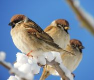 Sparrow (Passer montanus) Royalty Free Stock Images