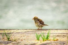 Sparrow passerine bird is freezing in the city on the ground royalty free stock images