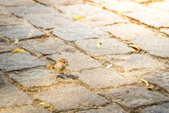 Sparrow passerine bird is searching for food in the city on the ground royalty free stock photo