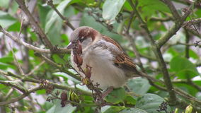 Sparrow pecking seeds Royalty Free Stock Images