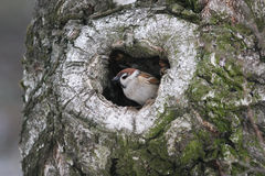 Sparrow peeking out of a hollow tree in the woods Royalty Free Stock Photo