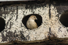 A sparrow peeks out of a hole in a concrete slab Royalty Free Stock Photos