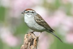 Sparrow on a perch with a colorful background. Chipping Sparrow (Spizella passerina) on a branch with a green background stock photos