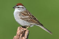 Sparrow on a perch with a colorful background. Chipping Sparrow (Spizella passerina) on a branch with a green background royalty free stock image
