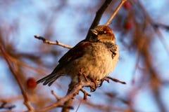 Sparrow stock image