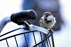 The sparrow and the bicycle stock photography