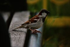 Sparrow Perched on Bench Stock Photos
