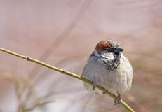 Sparrow perched on branch Royalty Free Stock Photography