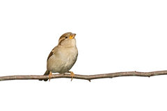Sparrow perched on a branch prepared to fly. White background stock photography
