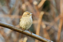 Sparrow perched on a branch Stock Image