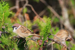 Sparrow perched on a branch Royalty Free Stock Photography